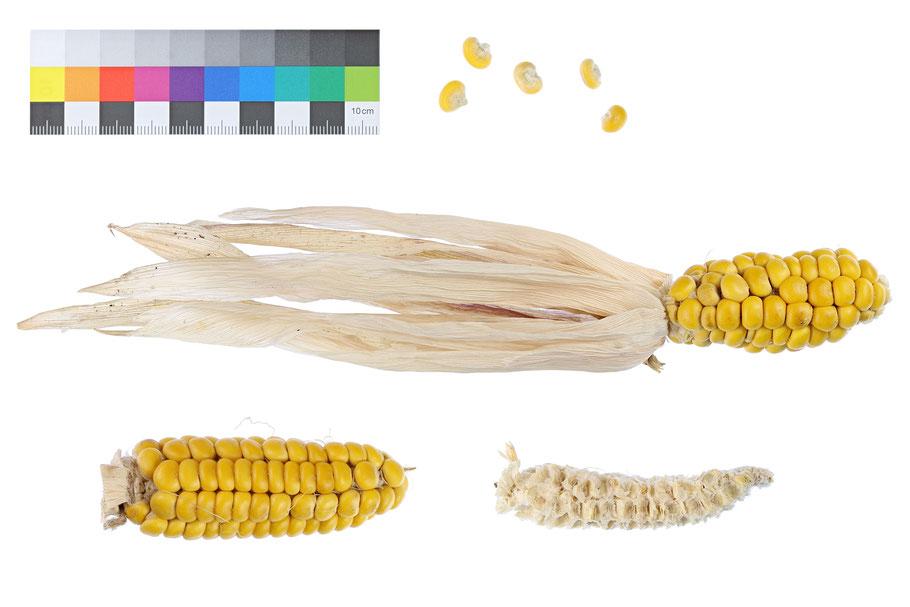 Gaspé zea mays maize corn Landsorte Landsorten Benjamin Simon Saatgut Mais alte Sorten Landmais