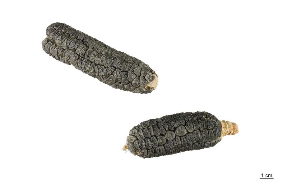 zuckermais sweetcorn corn maize saccharata zea mays mais blue jade landsorte landsorten historische sorten kulturgut saatgut züchtung erhaltung