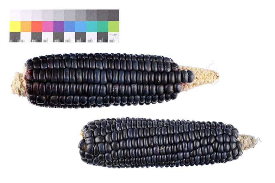 Alamo Navajo Blue Weichmais Stärkemais flour corn maize Mais alte Sorten Landsorte Landsorten historische Sorten Saatgut Samen IPK Gatersleben Benjamin Simon
