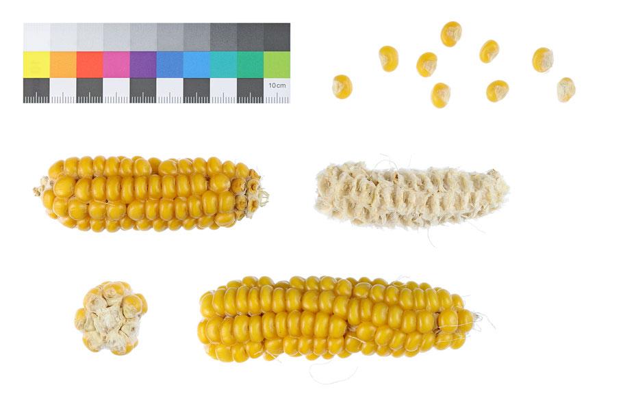 Early Yellow Mutant Hartmais zea mays indurata Landsorte Landsorten alte Maissorten Saatgut Benjamin Simon Mais maize corn alte Sorten Landmais