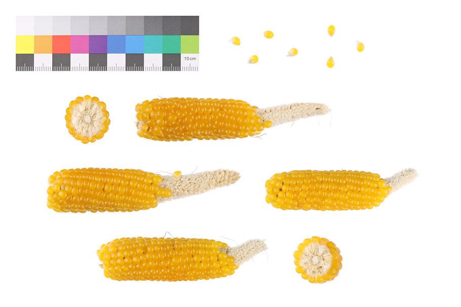 Puff,mais Popmais Yellow Ladyfingers pop corn maize Mais zea mays everta Landsorte Landsorten alte Sorten historische Sorten Saatgut Samen Maissaatgut IPK Gatersleben Benjamin Simon