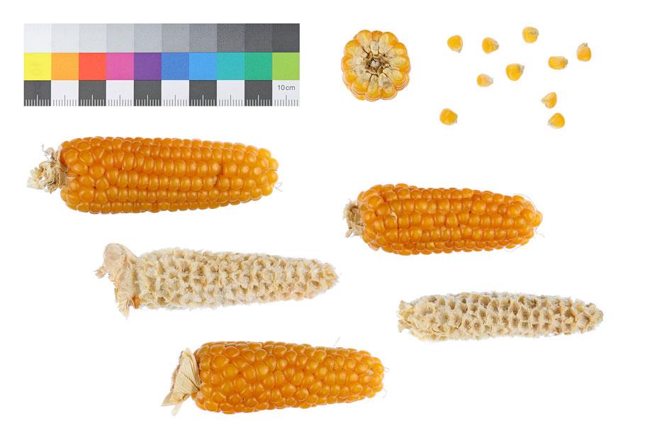 Puffmais Tom Thumb zea mays everta pop corn Landsorte Landsorten Mais maize Benjamin Simon alte Sorten Landmais