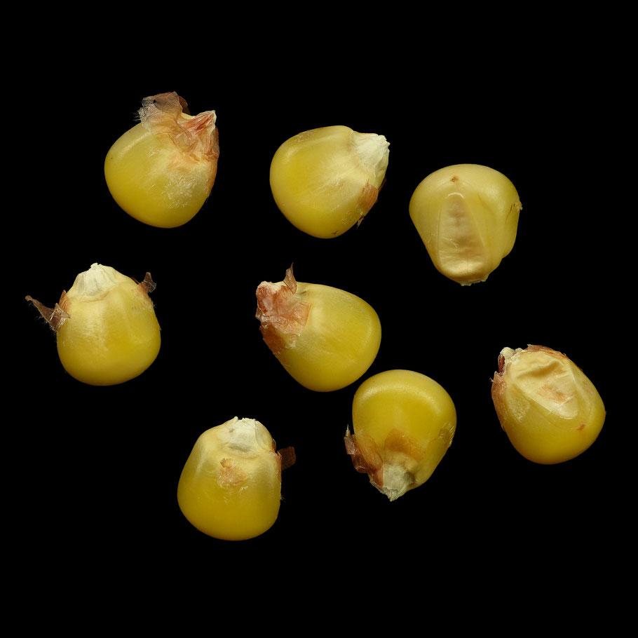 Kroatischer Landmais - maize - corn - Zwischentyp