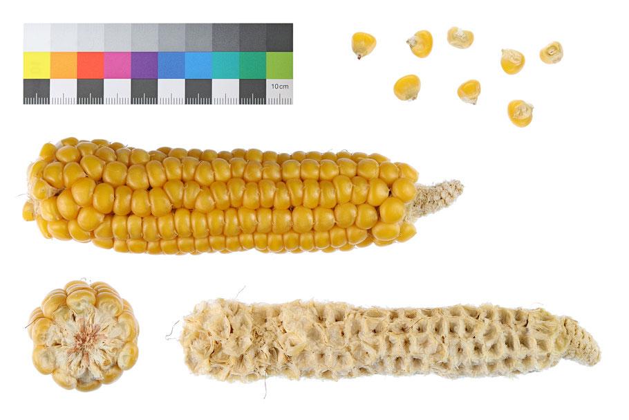 Petkuser Hartmais zea mays indurata Hartmais Landsorte Lansorten IPK Gatersleben Saatgut Mais maize corn Saatgut alte Sorten Landmais