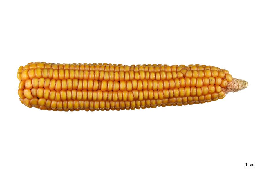 zea mays indurata flint corn maize linthmais hartmais mais landsorte landsorten historische sorten kulturgut saatgut züchtung erhaltung