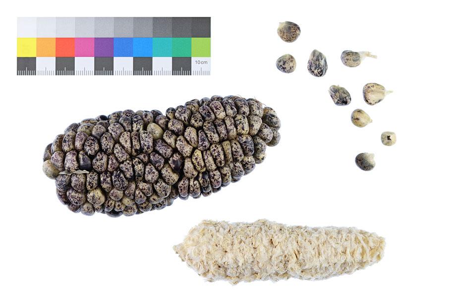 Gneis Mais Stärkemais Weichmais flour corn maize Mais Landsorte Landsorten zea mays alte Sorten Landmais