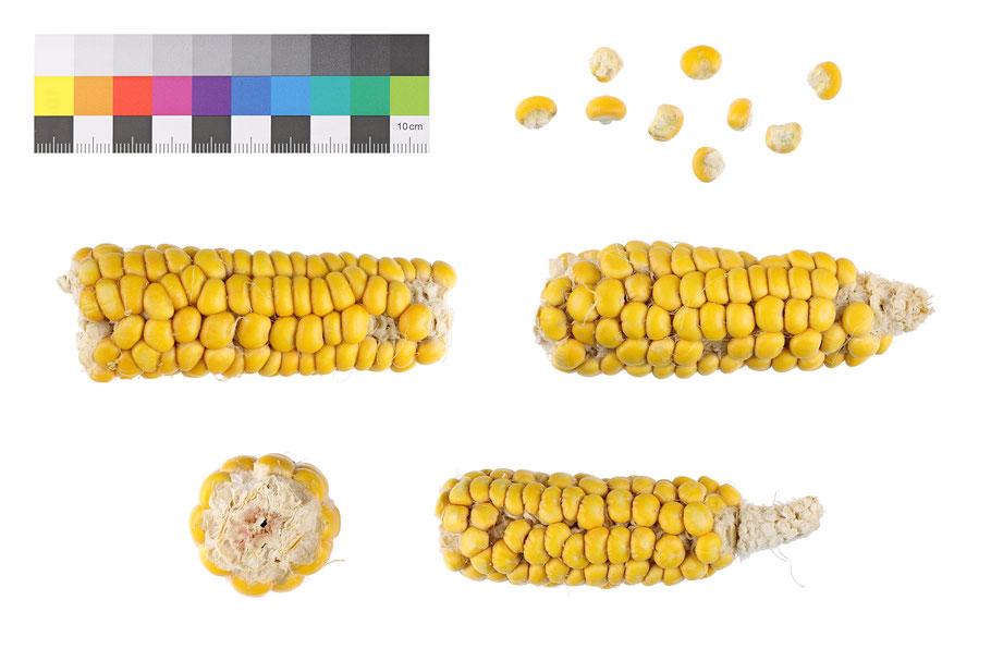 Weichmais Stärkemais amylacea zea mays corn maize flour IPK Gatersleben Benjamin Simon Mais Saatgut Samen Landsorte Landsorten historische Sorten Erhaltung