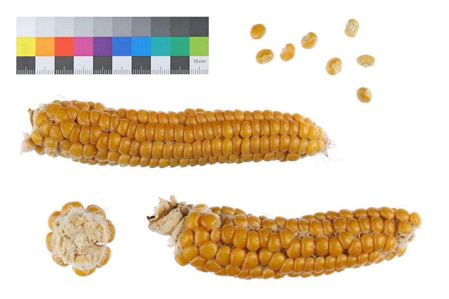 Braunes Schindelmeiser zea mays indurata flint corn maize Landsorte Landsorten IPK Gatersleben Benjamin Simon Saatgut alte Sorten Landmais