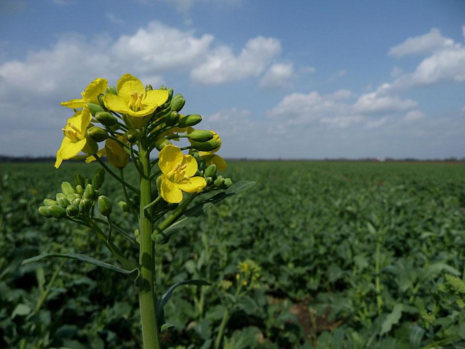 Brassica napus - Winterkörnerraps - Beginn der Blütezeit