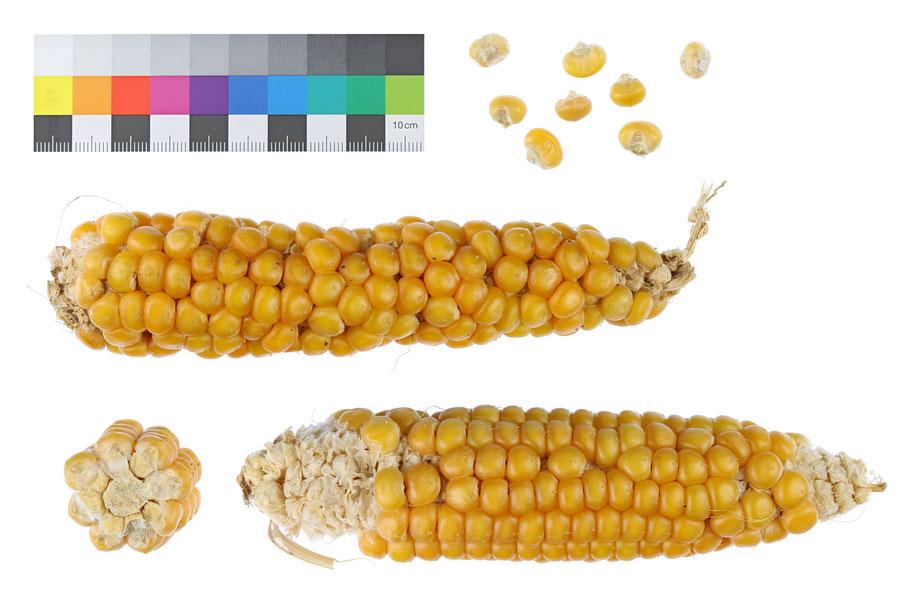 Stanowicka zea mays indurata Hartmais Landsorte Landsorten IPK Gatersleben Saatgut Mais maize flint corn Benjamin Simon alte Sorten Landmais