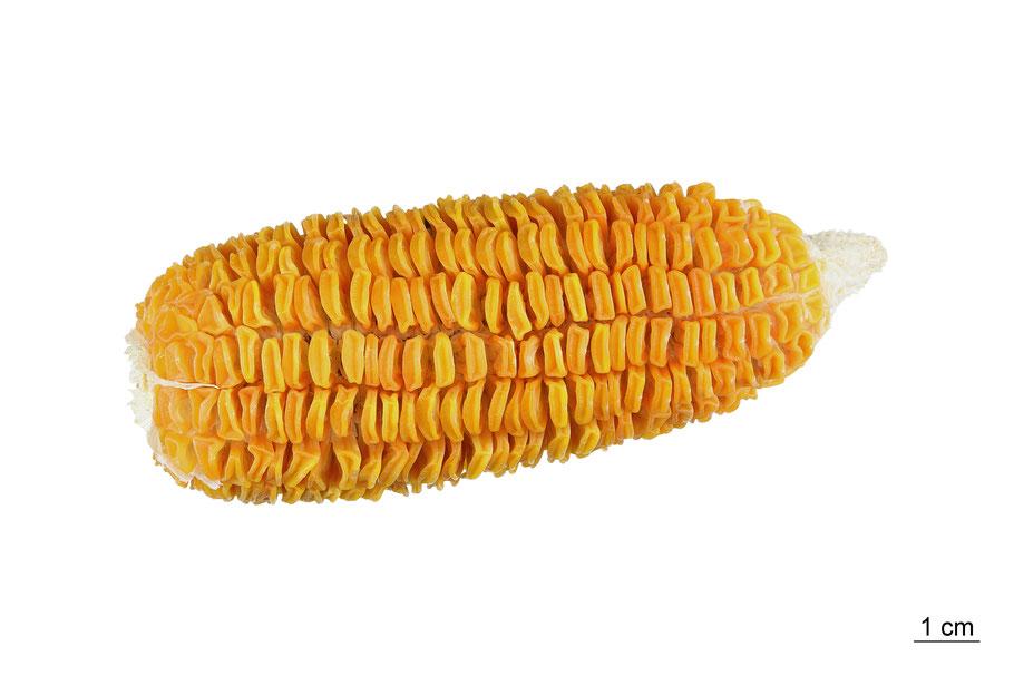 zea mays saccharata sweetcorn maize corn zuckermais mais pago landsorte landsorten historische sorten kulturgut saatgut züchtung erhaltung