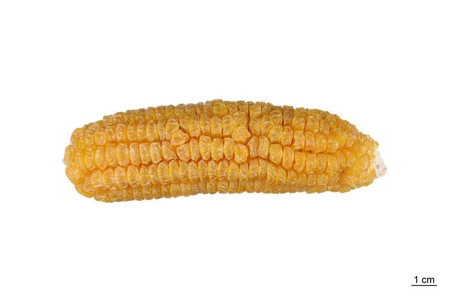 zea mays saccharata sweet corn maize zuckermais ashworth mais landsorte landsorten historische sorten kulturgut saatgut züchtung erhaltung