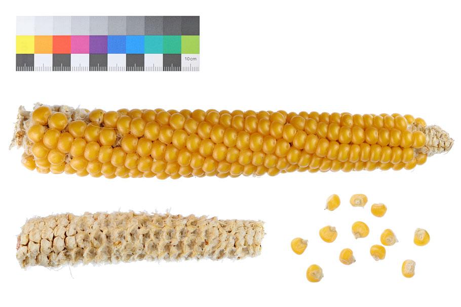 Mankes Goliath Hartmais indurata zea mays IPK Gatersleben corn maize Landsorte Landsorten Mais alte Sorten Landmais