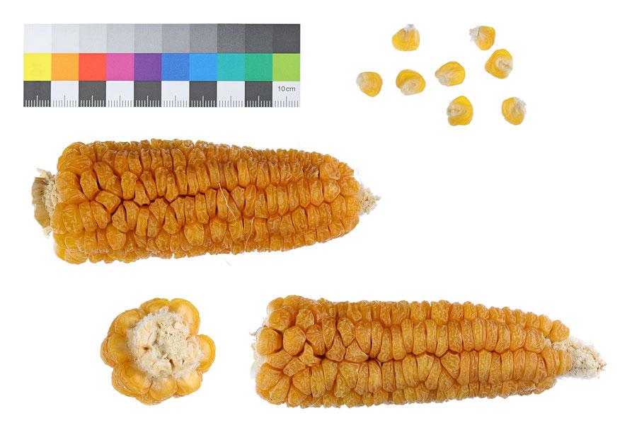 Golden 60 Day Zuckermais zea mays saccharata sweet corn IPK Gatersleben Landsorte Landsorten alte Sorten Mais maize Benjamin Simon IPK Gatersleben alte Sorten Landmais