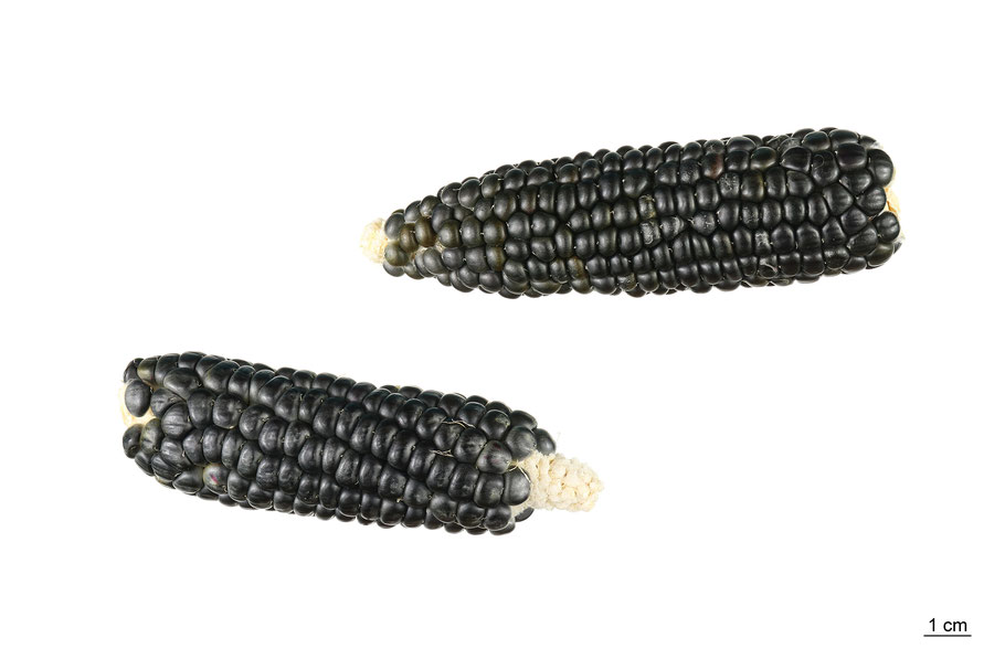 zea mays indurata hopi blue ipkn gatersleben maize corn mais hartmais landsorte landsorten historische sorten kulturgut saatgut züchtung erhaltung