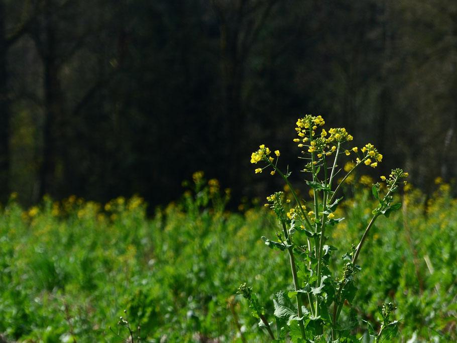 Brassica rapa L. var. silvestris - Winterrübse