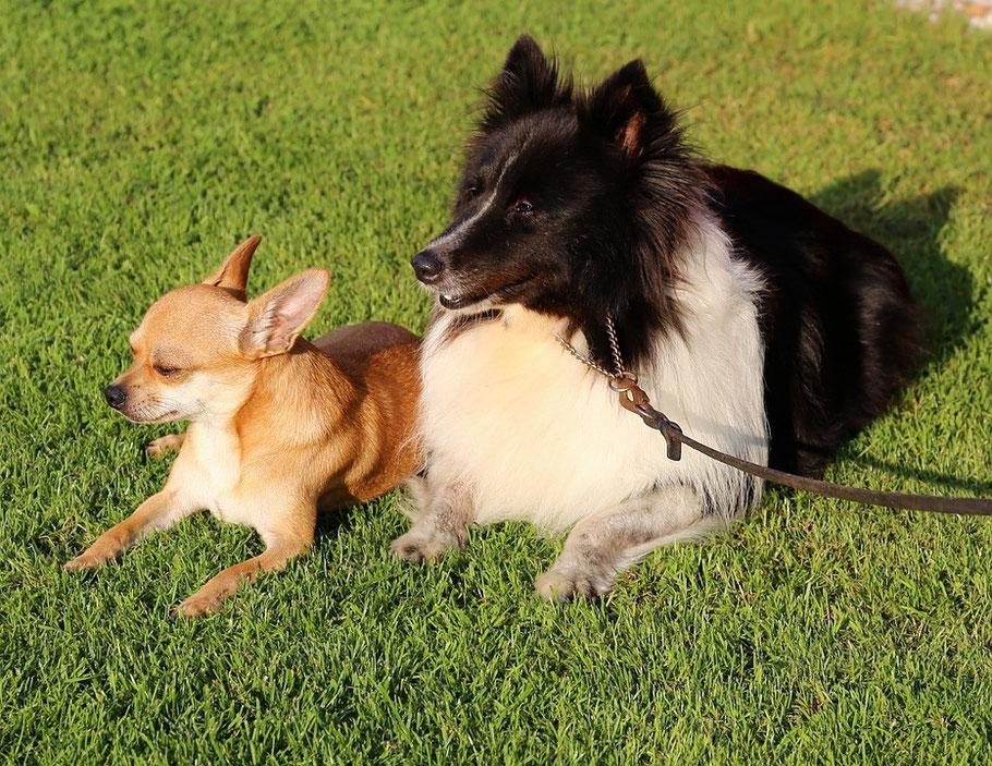 Chi-Love.de | BLOG | 15 Dinge ... | Chihuahua