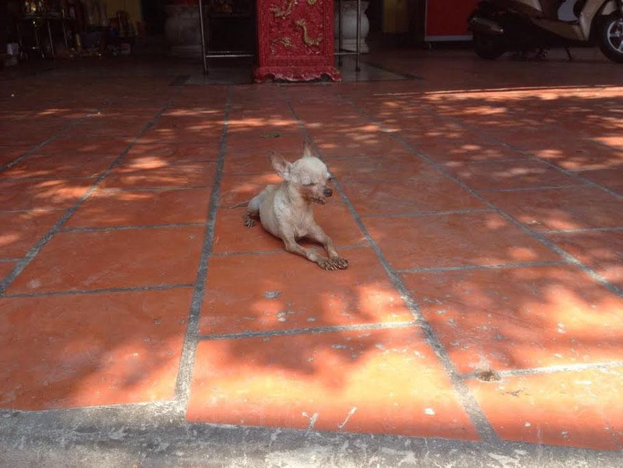 Chi-Love.de | BLOG | Magazin | Foto: Chihuahua vor einem Tempel bei Saigon, Vietnam