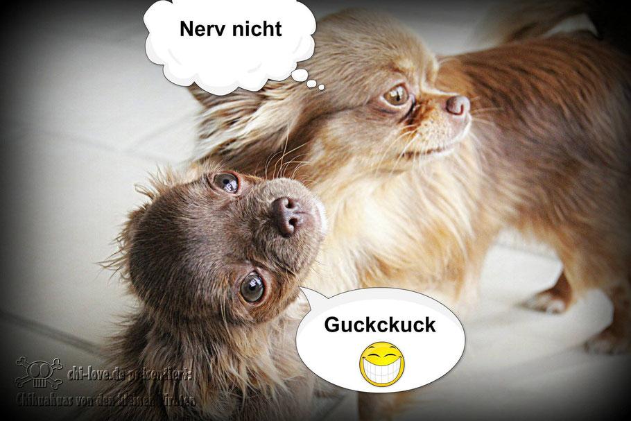 """Piraten-Cartoon auf Chi-Love.de präsentiert: Chihuahuas von den kleinen Piraten """"Nerv nicht!"""""""