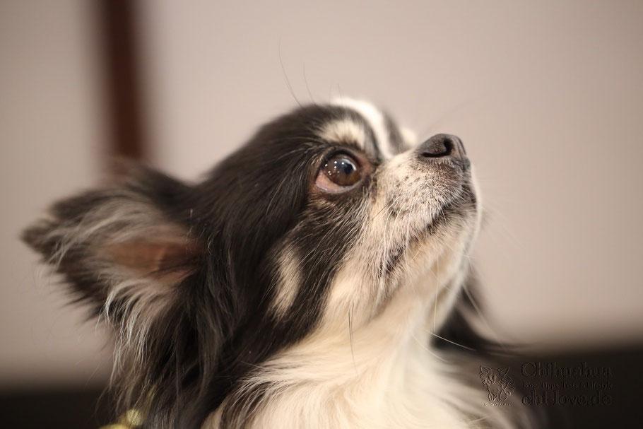 Chi-Love.de   Chihuahua - Allein zu Haus!   Wie trainiere ich das Alleinbleiben?