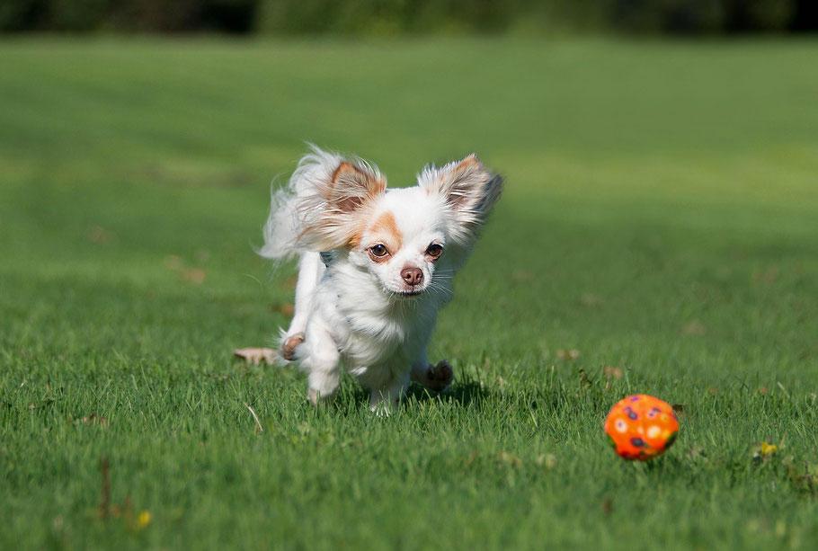 Chi-Love.de | Fragen vor dem Kauf | Foto: Swiffer Chihuahua