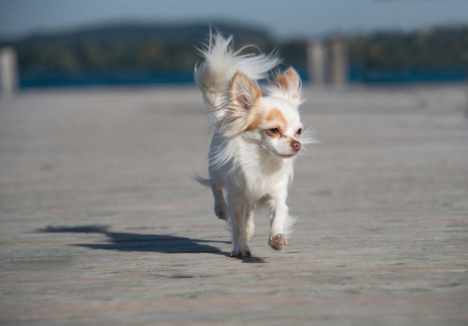 Kynologische Fachbegriffe |Chi-Love.de| Swiffer Chihuahua