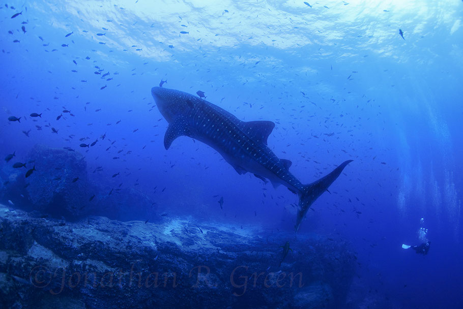 Galapagos Shark Diving - Whale shark with diver Galapagos Islands