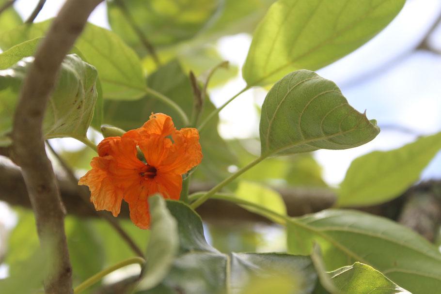 Kou Amy Greenwell Garden Big Island Hawaii