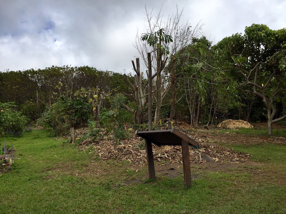 'Ulu breadfruit Amy Greenwell Garden Hawaii
