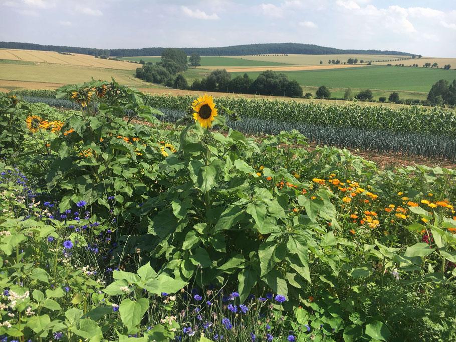 Blüstreifen mit Panoramablick über die Gemeinde Gleichen. Mittig im Bild eine nach links ausgerichtete Sonnenblume.