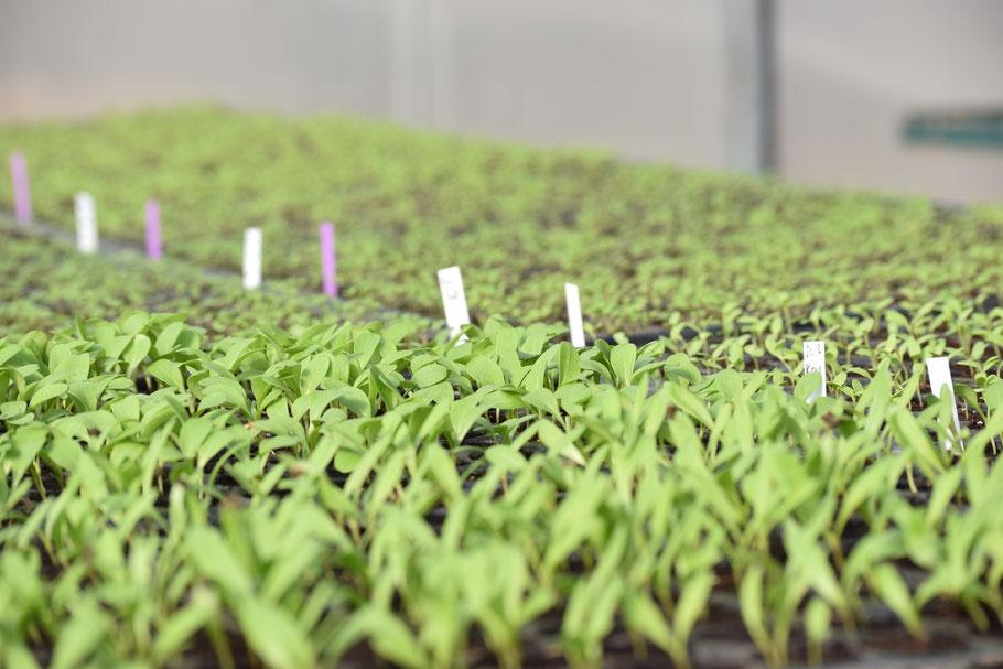 Nahaufnahme von Jungpflanzen im Gewächshaus.