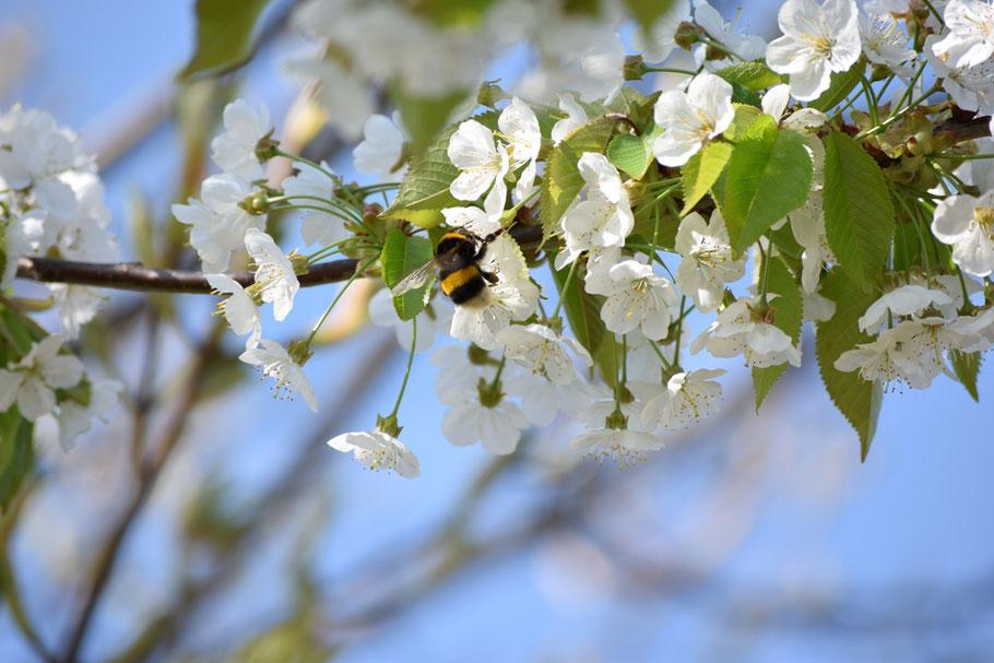 """Apfelblüte im April in der Gärtnerei """"Rote Rübe - Schwarzer Rettich"""""""