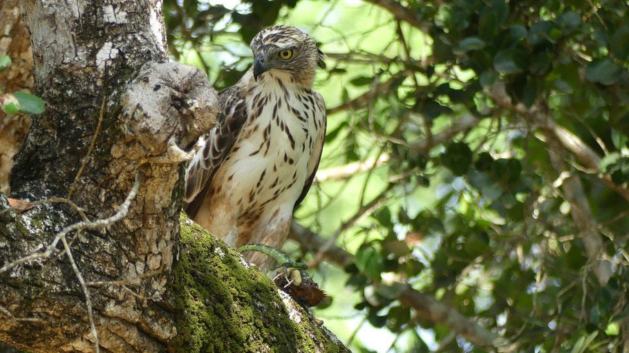 Parc National de Yala, un aigle et sa proie