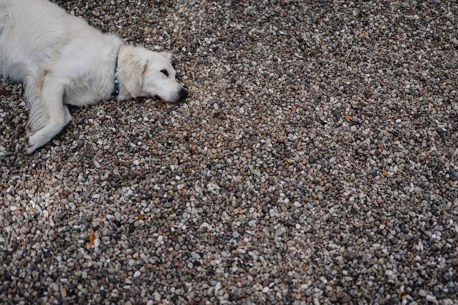 Hund Kiesel Schlafen