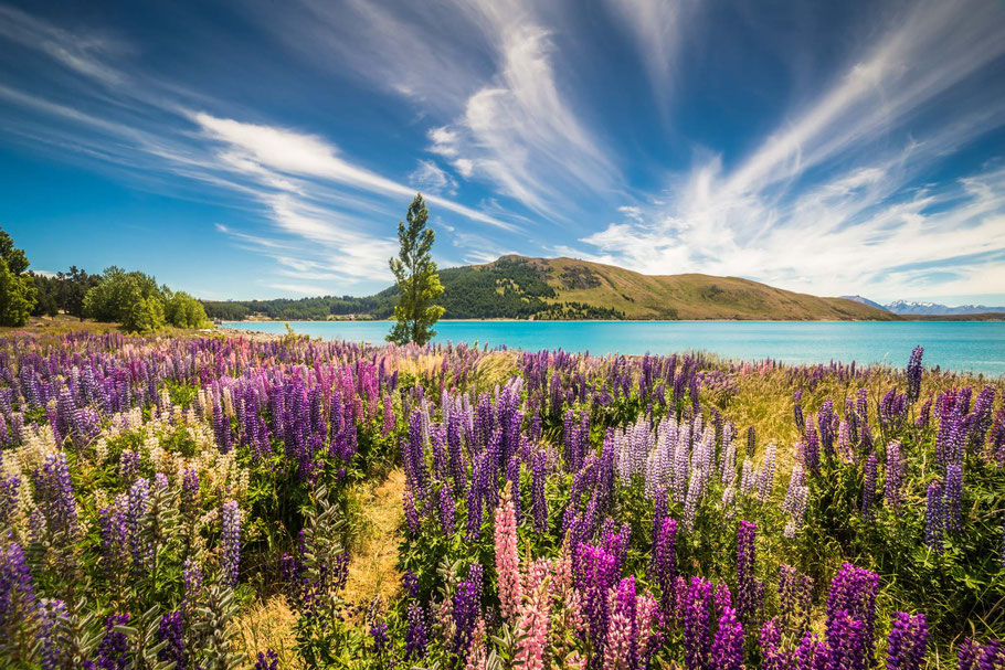 Lupin Flowers, Lake Tekapo
