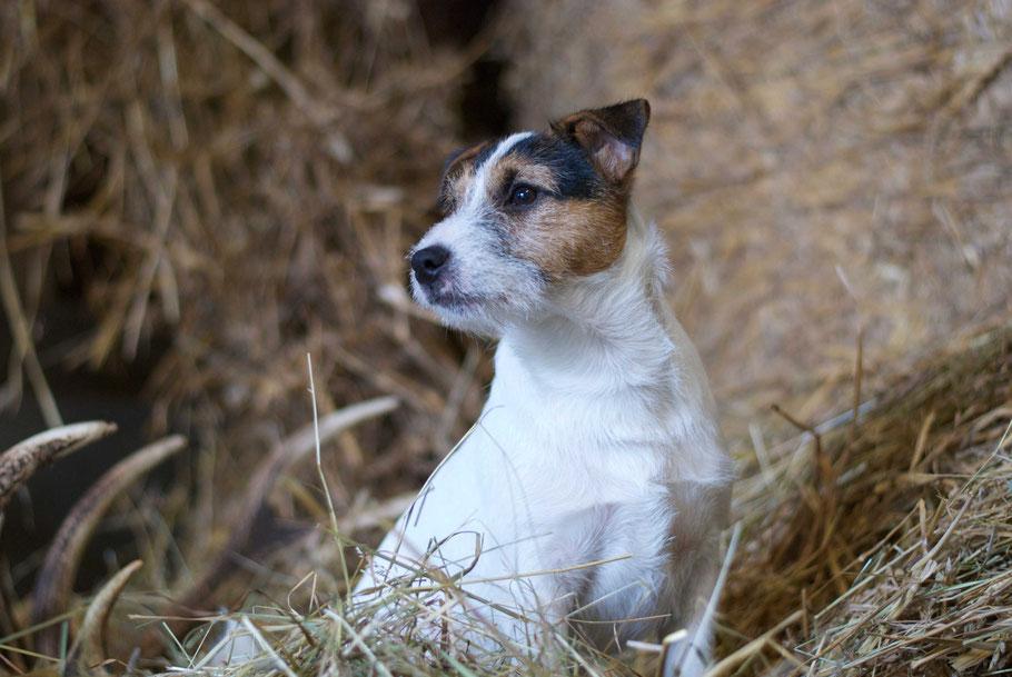Arthur vom Ammannsforst, A-Wurf Vom Ammannsforst. Jagdlich geführter Parson Russell Terrier