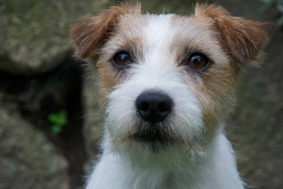 Dyke vom Brunsbeker Land, Zuchtrüde Vom Ammannsforst, jadglich geführter Parson Russell Terrier