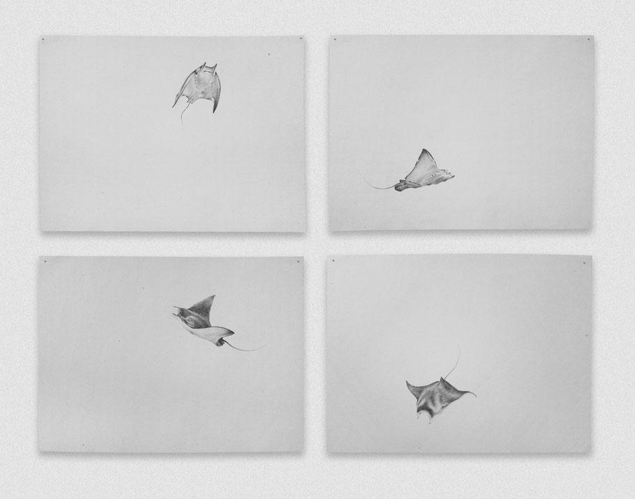 [ Vuelo de una mantarraya ] políptico compuesto por cuatro dibujos de una mantarraya formando el bucle de un salto. Grafito sobre papel. (21 x 29 cm. 2018)