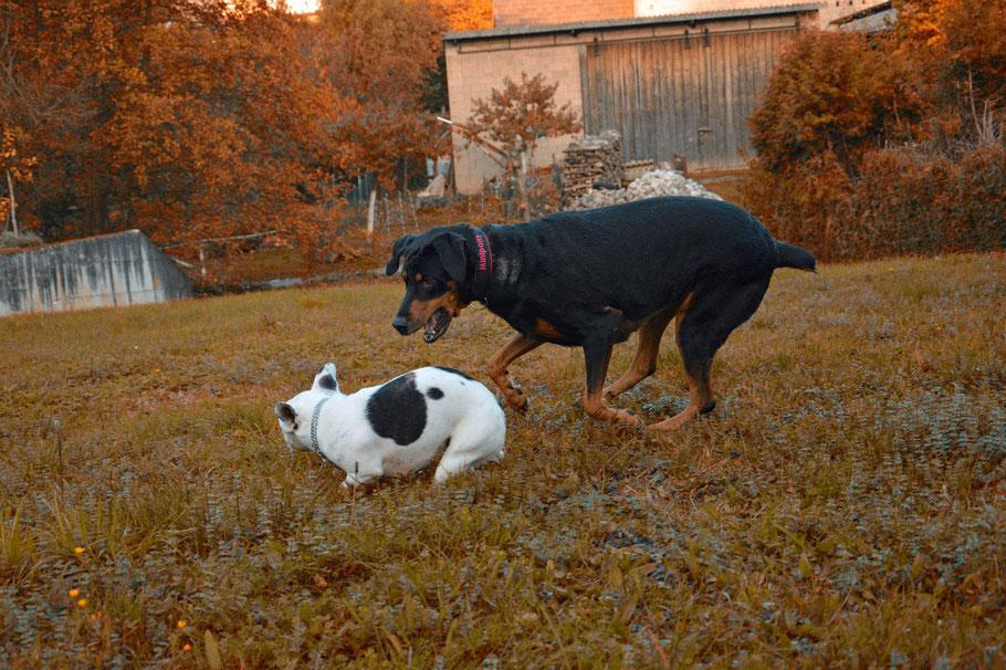 Französische Bulldogge - Dori Tauber Hund, na und? / Französische Bulldogge mit NBT und Dobermann-Rottweiler-Mix mit kupierter Rute