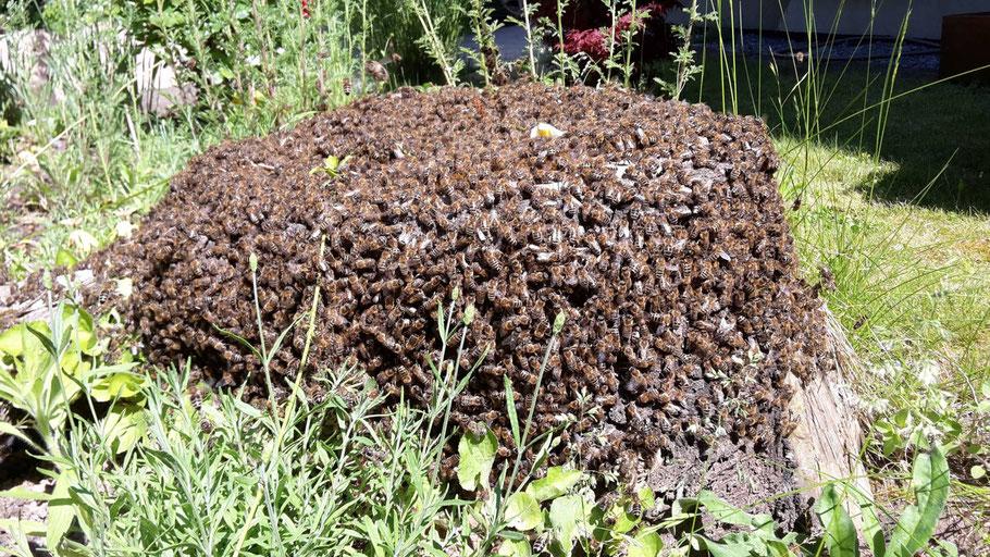 Abgekehrtes Bienenvolk