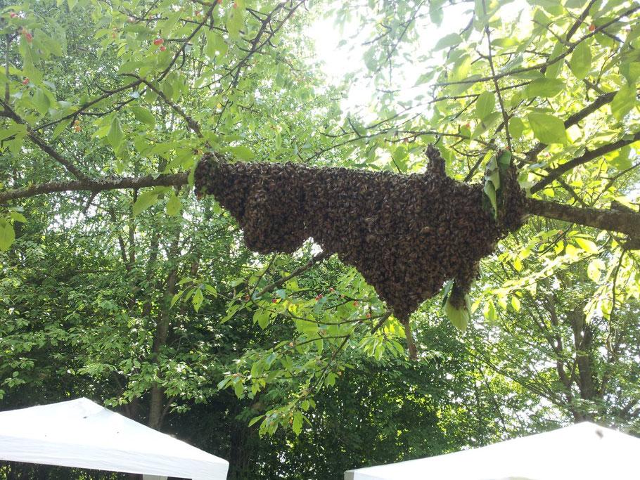 Bienenschwarm.