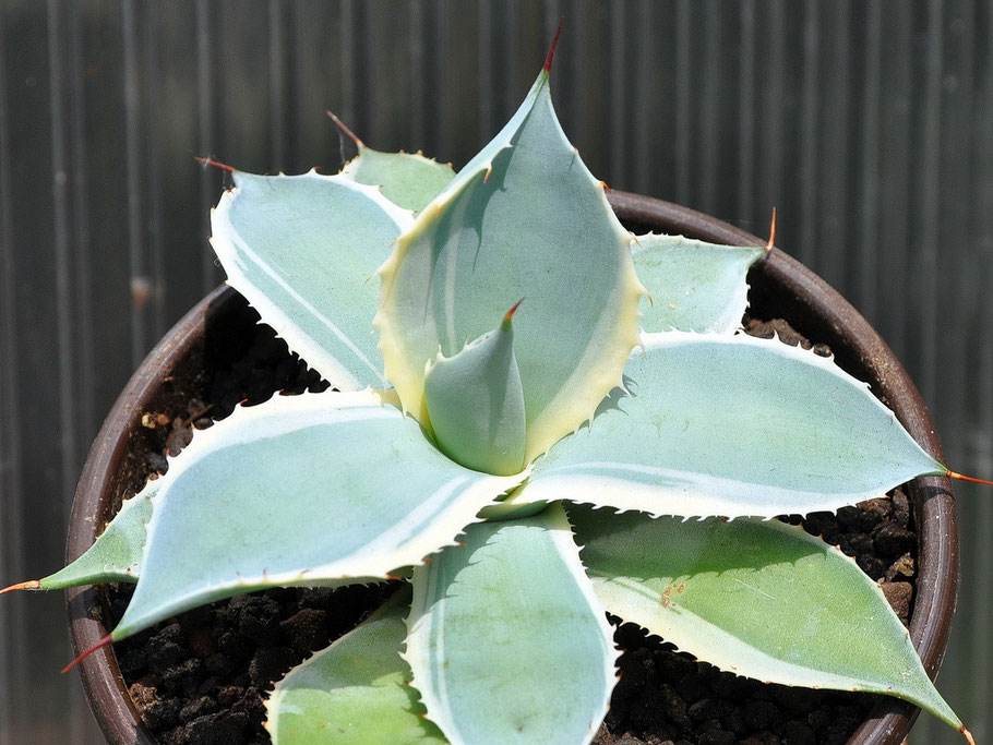 Agave potatorum Bluewinds