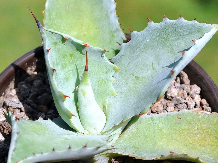 Agave potatorum Cameron Blue