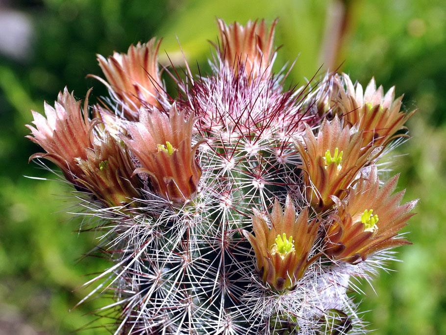 Echinocereus chloranthus rhyolithensis SB 47
