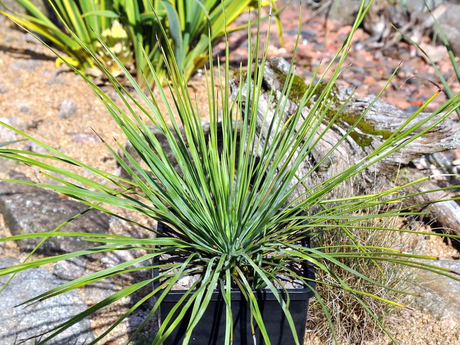 Yucca linearifolia Dusky Blue