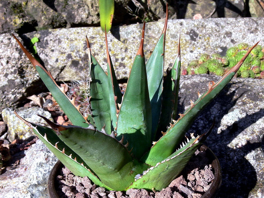 Agave purpusorum, ghiesbreghtii