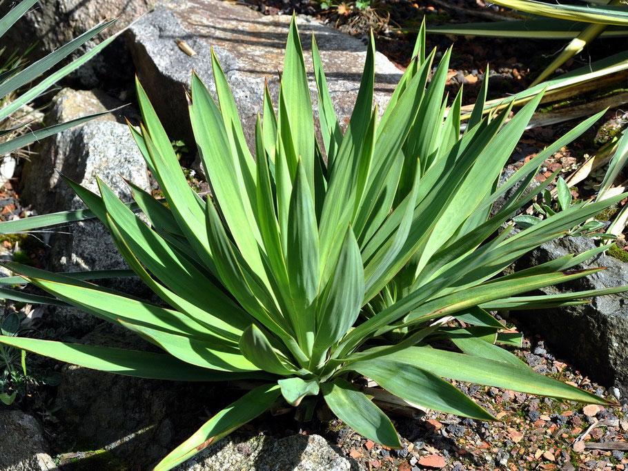Yucca gloriosa Lone Star