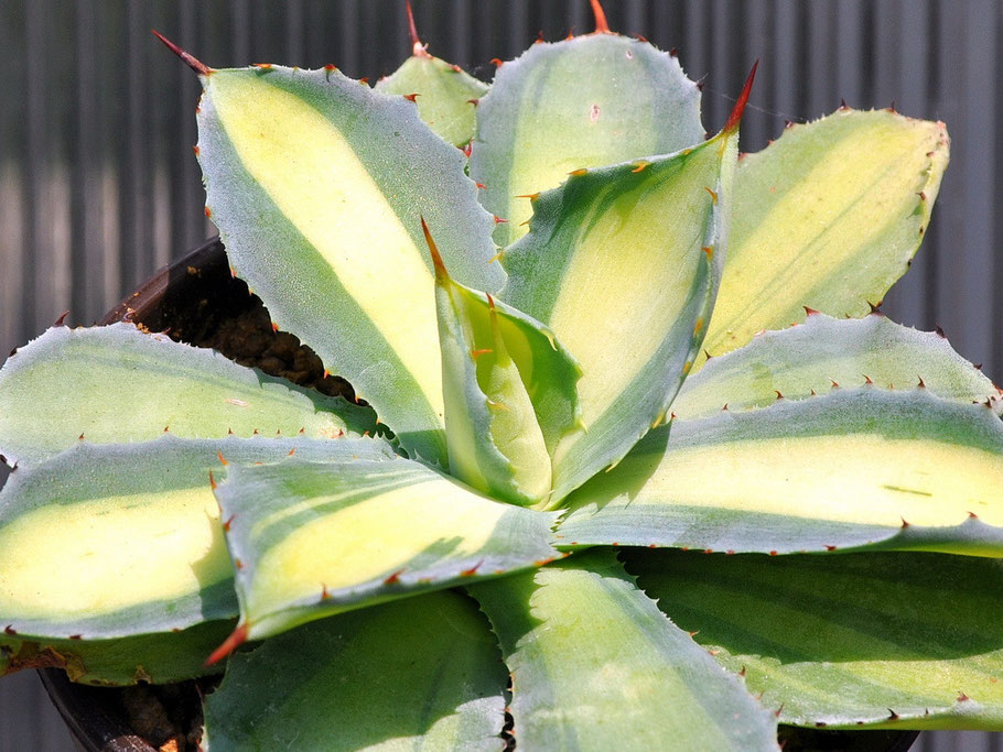Agave potatorum Mediopicta
