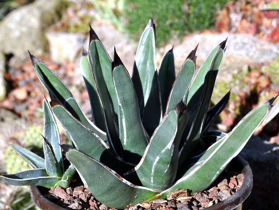 Agave nickelsiae