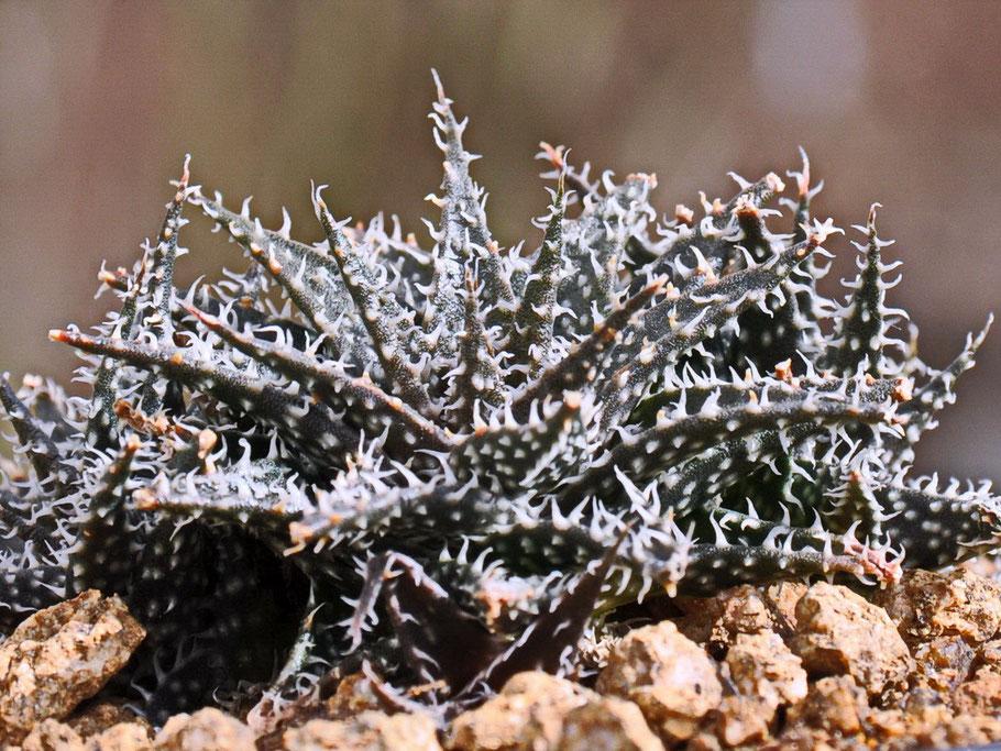 Aloe haworthioides x descoingsii